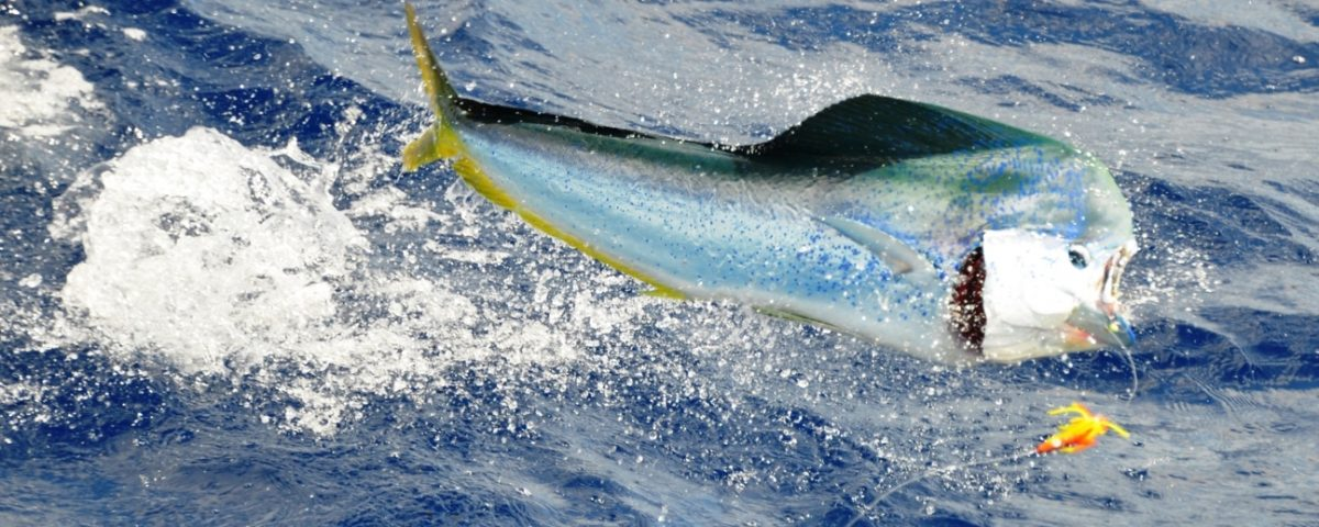 big male dorado jumping - Rod Fishing Club - Rodrigues Island - Mauritius - Indian Ocean