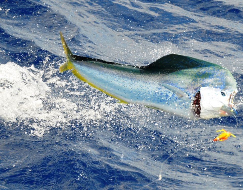 big male dorado jumping - Rod Fishing Club - Rodrigues Island - Mauritius - Indian Ocean