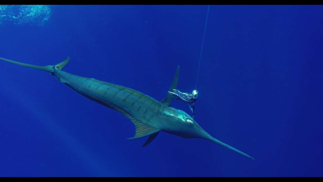 marlin bleu - Rod Fishing Club - Ile Rodrigues - Maurice - Océan Indien
