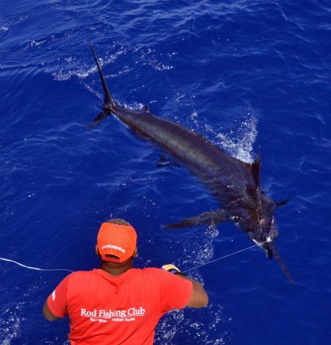 Marlin bleu de plus de 200kg au bas de ligne - www.rodfishingclub.com - Maurice - Océan Indien