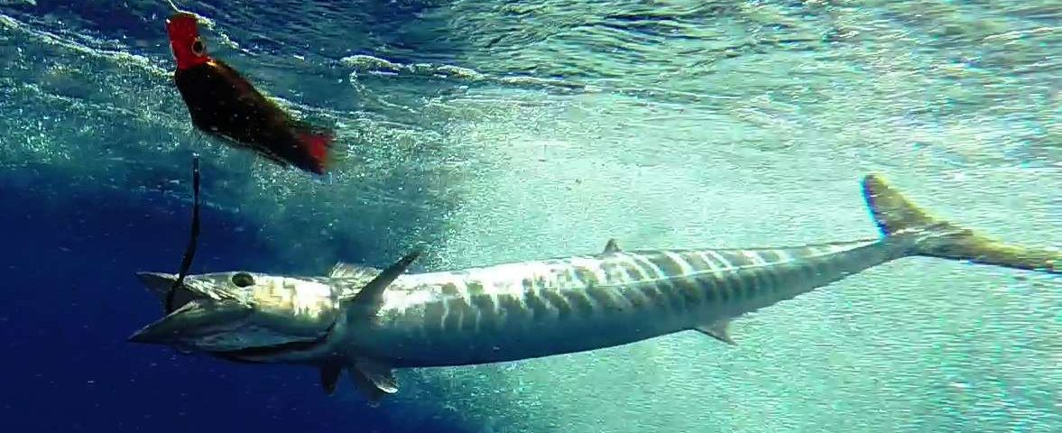 wahoo sous le bateau - Rod Fishing Club - Ile Rodrigues - Maurice - Océan Indien
