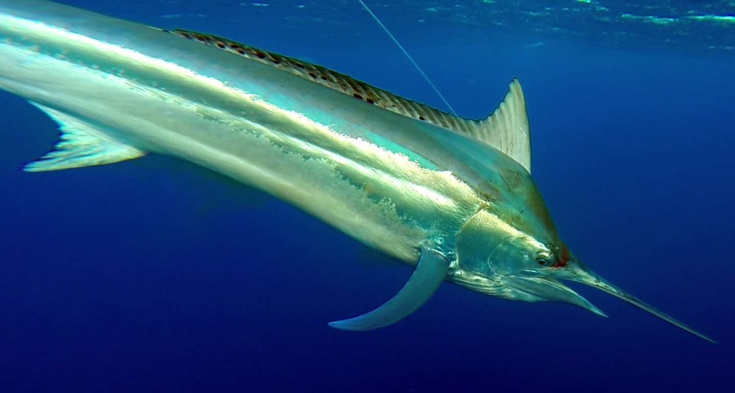 Black marlin under the boat - Rod Fishing Club - Rodrigues Island - Mauritius - Indian Ocean