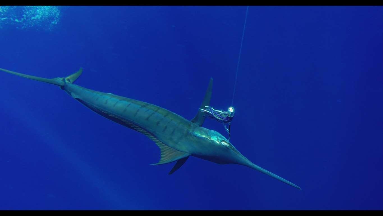 Blue marlin - Rod Fishing Club - Rodrigues Island - Mauritius - Indian Ocean