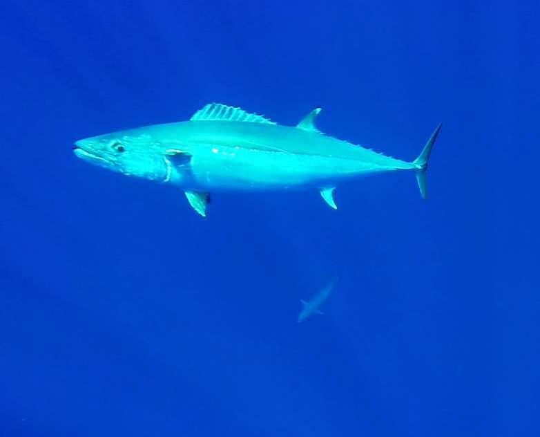 Doggies underwater - Rod Fishing Club - Rodrigues Island - Mauritius - Indian Ocean