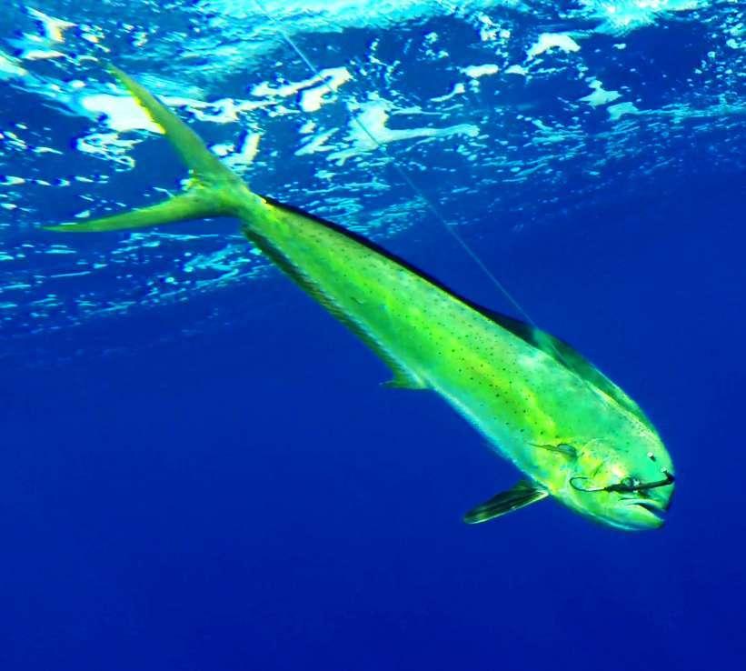 dorade coryphène - Rod Fishing Club - Ile Rodrigues - Maurice - Océan Indien