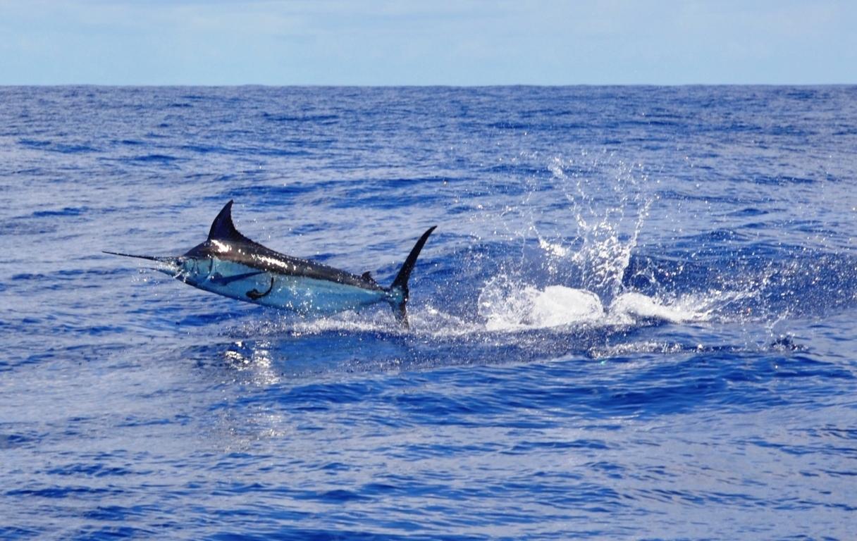 Marlin bleu saut