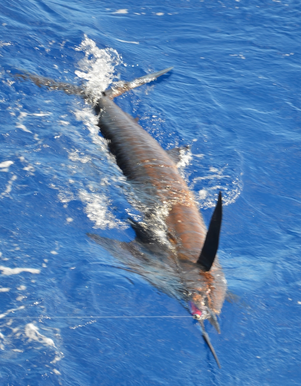 Released Sailfish - Rod Fishing Club - Rodrigues Island - Mauritius - Indian Ocean