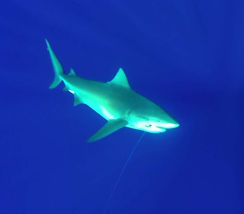 Requin bouledogue - Rod Fishing Club - Ile Rodrigues - Maurice - Océan Indien