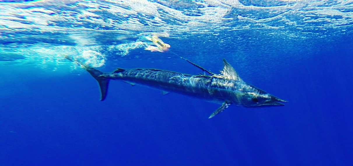 Shortbill spearfish - Rod Fishing Club - Rodrigues Island - Mauritius - Indian Ocean