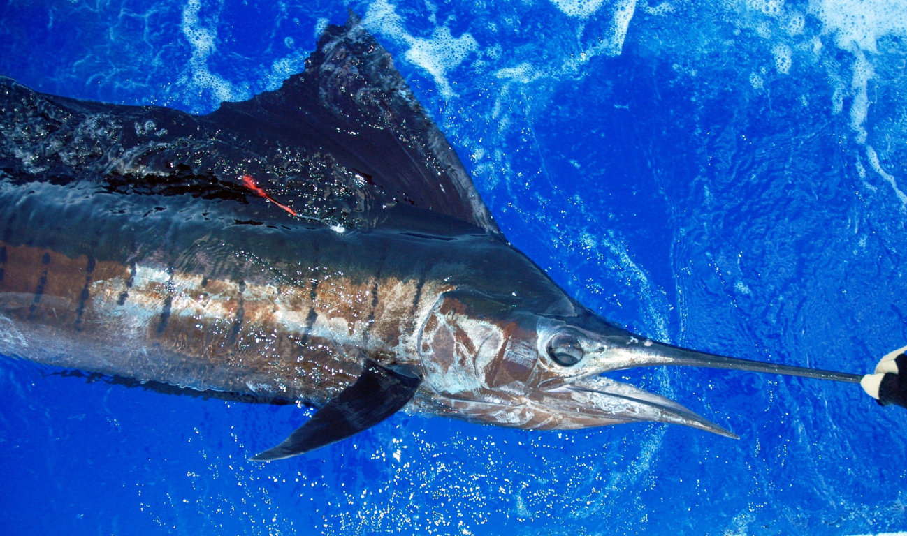 Tagged and released sailfish - Rod Fishing Club - Rodrigues Island - Mauritius - Indian Ocean