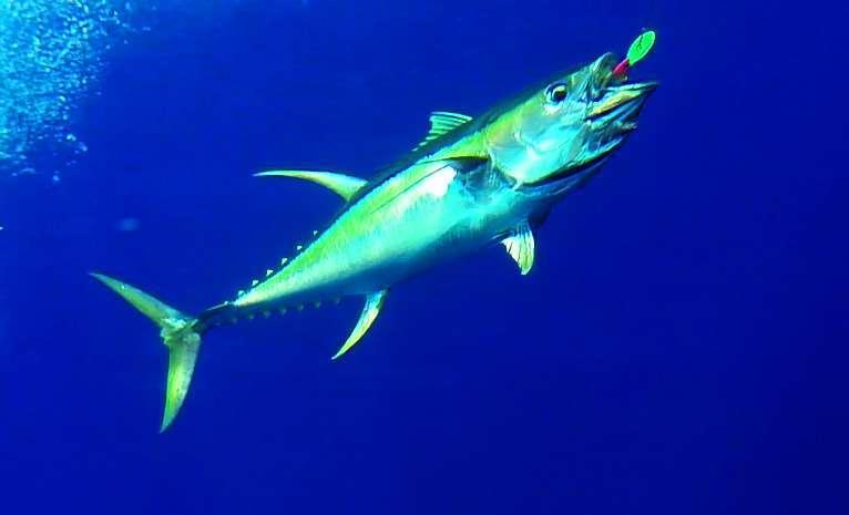 thon jaune - Rod Fishing Club - Ile Rodrigues - Maurice - Océan Indien