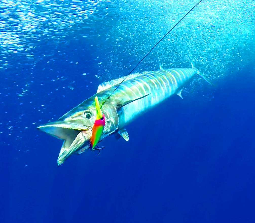 Wahoo pris au XRap - Rod Fishing Club - Ile Rodrigues - Maurice - Océan Indien