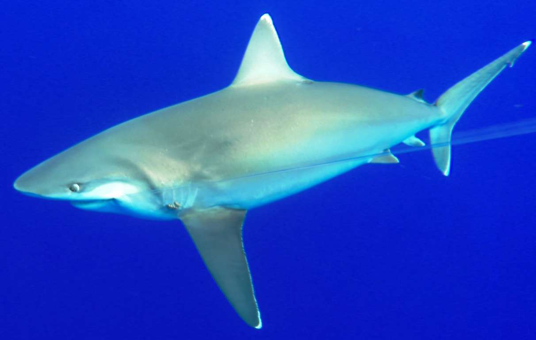 White tip shark - fishing technique - Rod Fishing Club - Rodrigues Island - Mauritius - Indian Ocean