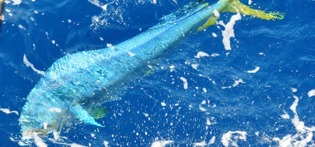 dorade coryphène au bateau - Rod Fishing Club - Ile Rodrigues - Maurice - Océan Indien
