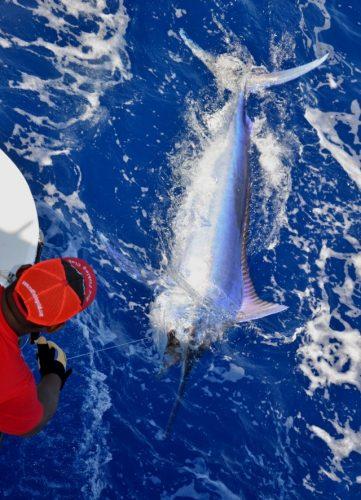 joli marlin noir 170kg relâché - Rod Fishing Club - Ile Rodrigues - Maurice - Océan Indien