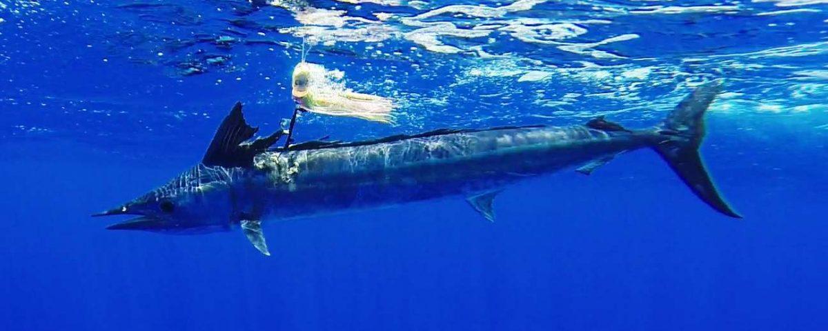 lancier ou spearfish - Rod Fishing CLub - Ile Rodrigues - Maurice - Océan Indien