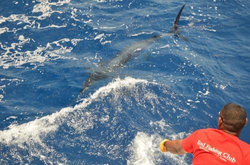 lignage d'un marlin noir avant relâche- Rod Fishing Club - Ile Rodrigues - Maurice - Océan Indien
