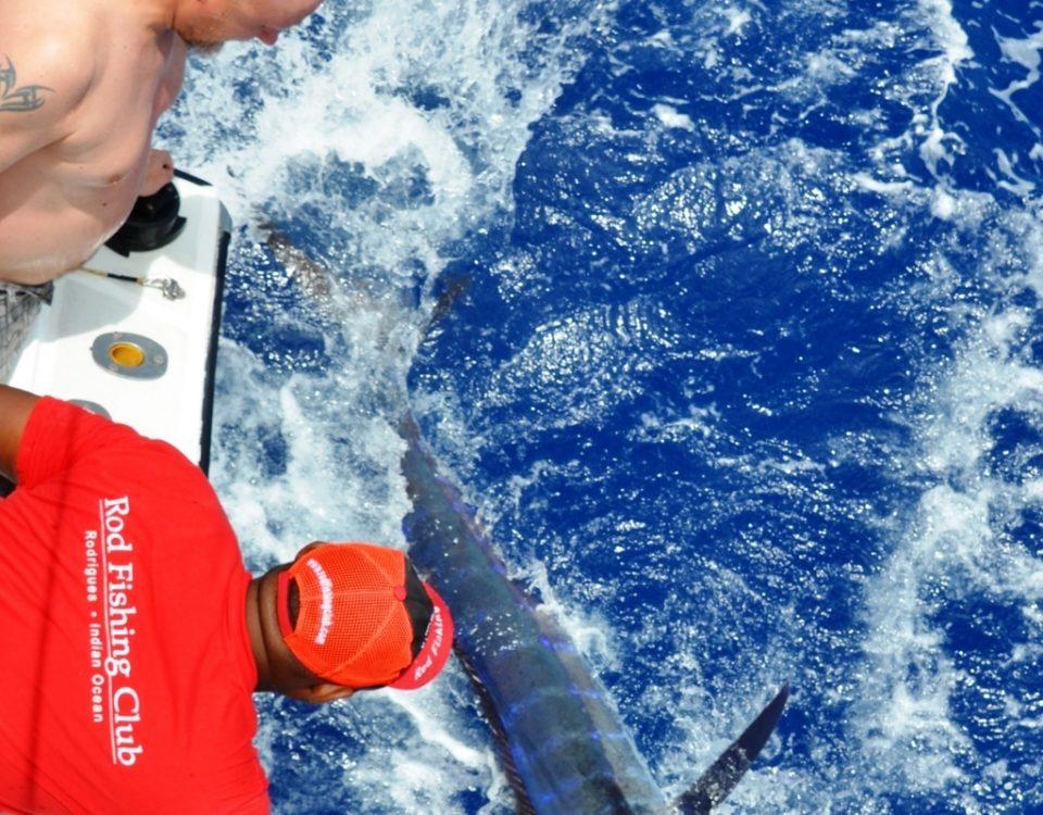marlin bleu de 80kg relâché - Rod Fishing Club - Ile Rodrigues - Maurice - Océan Indien
