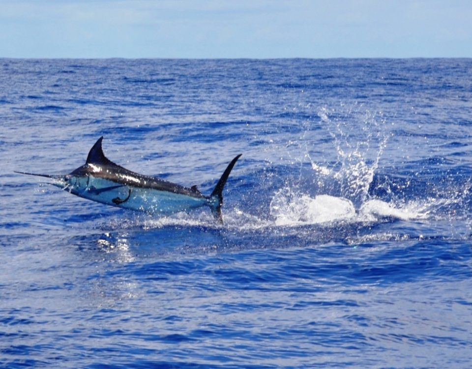 marlin bleu pris en heavy spinning - Rod Fishing Club - Ile Rodrigues - Maurice - Océan Indien
