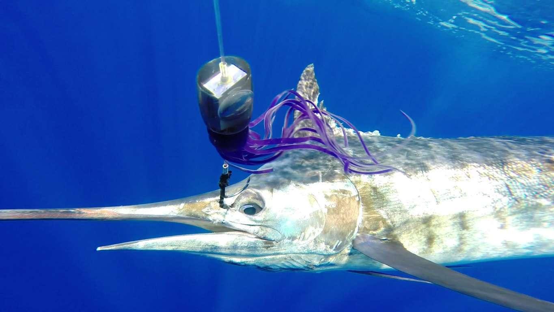 marlin bleu relâché sur un leurre BigT- Rod Fishing Club - Ile Rodrigues - Maurice - Océan Indien