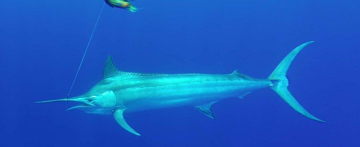 marlin noir de 120kg - Rod Fishing Club - Ile Rodrigues - Maurice - Océan Indien