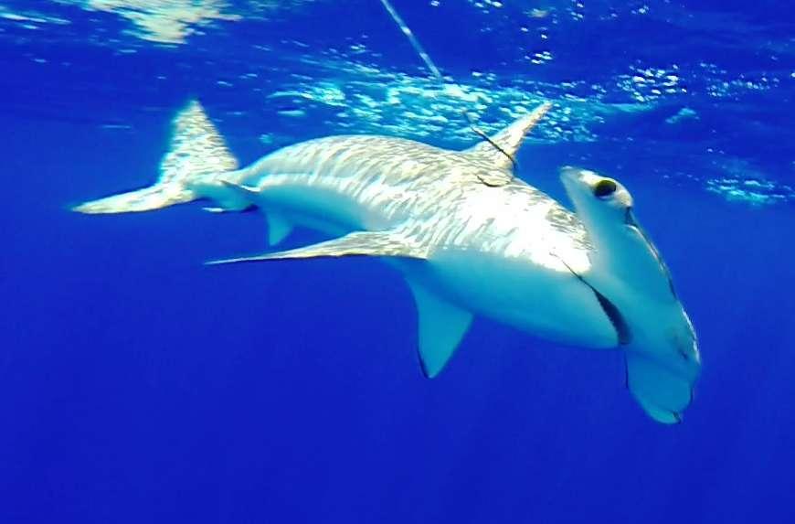 requin marteau relâché - Rod Fishing Club - Ile Rodrigues - Maurice - Océan Indien