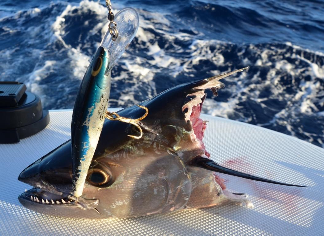 tête de thon à dents de chien pris au rapala apres les requins - Rod Fishing Club - Ile Rodrigues - Maurice - Océan Indien