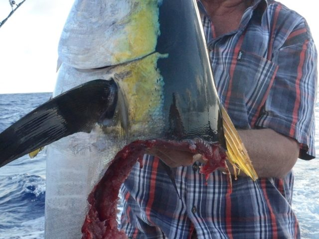 tête de thon jaune 16 kg après le repas d' un requin - Rod Fishing Club - Ile Rodrigues - Maurice - Océan Indien
