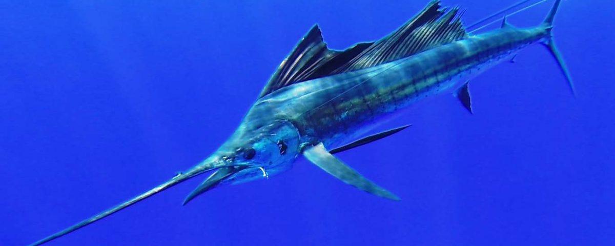 voilier de 35kg relâché - Rod Fishing Club - Ile Rodrigues - Maurice - Océan Indien