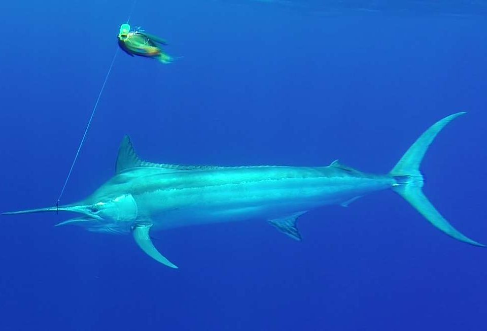 120kg black marlin - Rod Fishing Club - Rodrigues Island - Mauritius - Indian Ocean