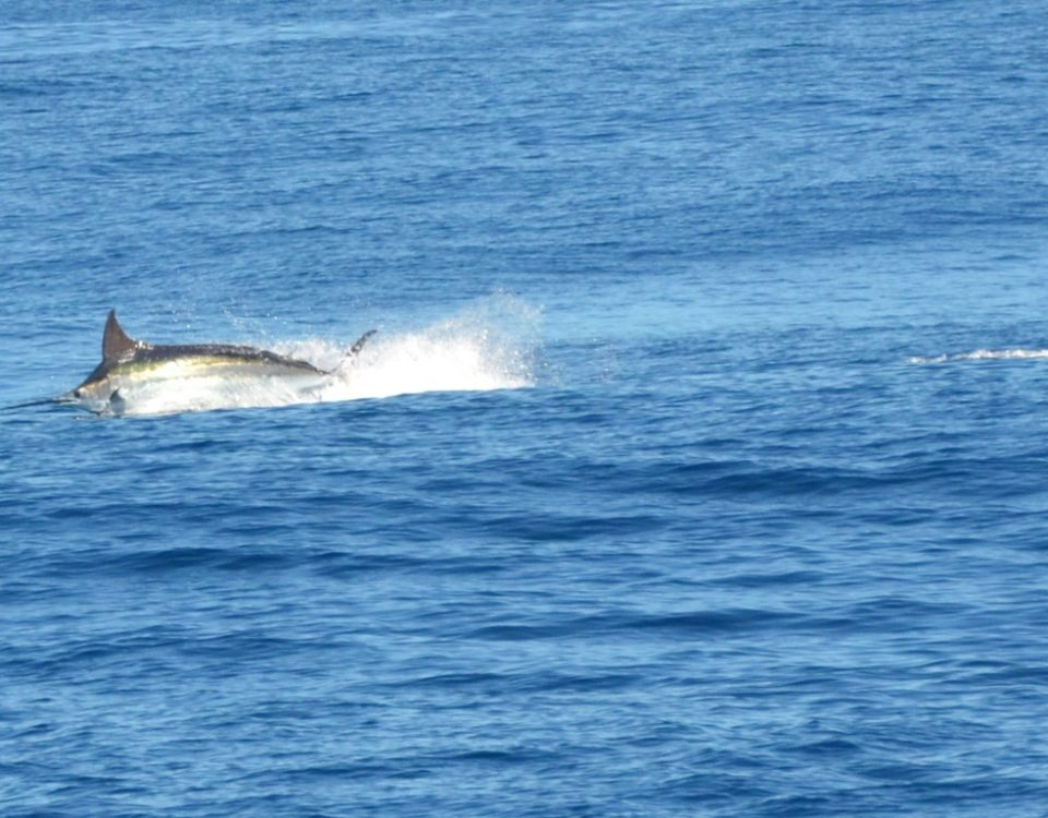 230kg blue marlin jumping - Rod Fishing Club - Rodrigues Island - Mauritius - Indian Ocean