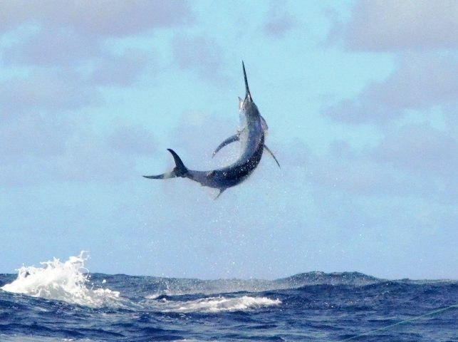 250kg black marlin in the sky - Rod Fishing Club - Rodrigues Island - Mauritius - Indian Ocean