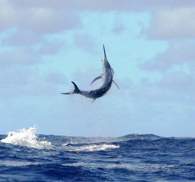 250kg black marlin in the sky - Rod Fishing Club - Rodrigues Island - Mauritius - Indian Ocean