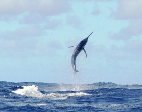 250kg black marlin jumping - Rod Fishing Club - Rodrigues Island - Mauritius - Indian Ocean