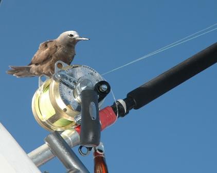 Bird and reel - Rod Fishing Club - Rodrigues Island - Mauritius - Indian Ocean