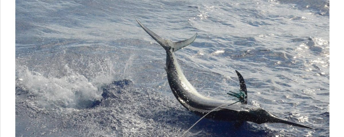 Black marlin - Rod Fishing Club - Rodrigues Island - Mauritius - Indian Ocean