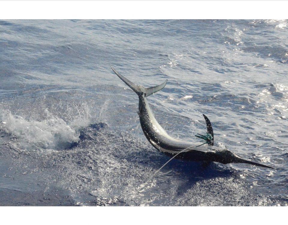 Black marlin - Rod Fishing Club - Rodrigues Island - Mauritius - Indian Ocean