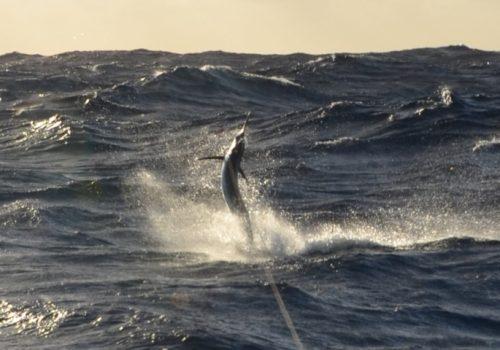 Black marlin jumping - Rod Fishing Club - Rodrigues Island - Mauritius - Indian Ocean