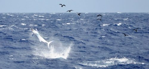 Black marlin jumping by rough weather - Rod Fishing Club - Rodrigues Island - Mauritius - Indian Ocean