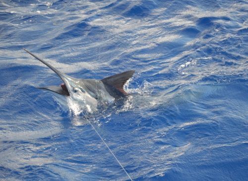 Black marlin on livebaiting - Rod Fishing Club - Rodrigues Island - Mauritius - Indian Ocean