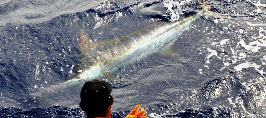 Blue marlin on leader - Rod Fishing Club - Rodrigues Island - Mauritius - Indian Ocean