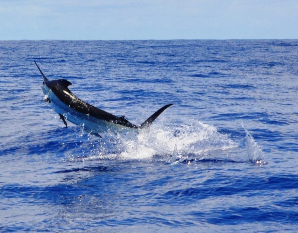 Blue marlin or Makaira nigricans - Rod Fishing Club - Rodrigues Island - Mauritius - Indian Ocean