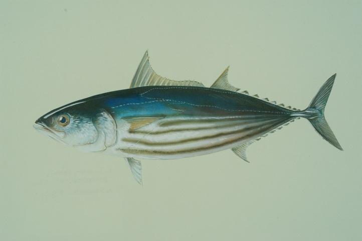 Bonite à ventre rayé ou Katsuwonus pelamis Rod Fishing Club - Ile Rodrigues - Maurice - Océan Indien