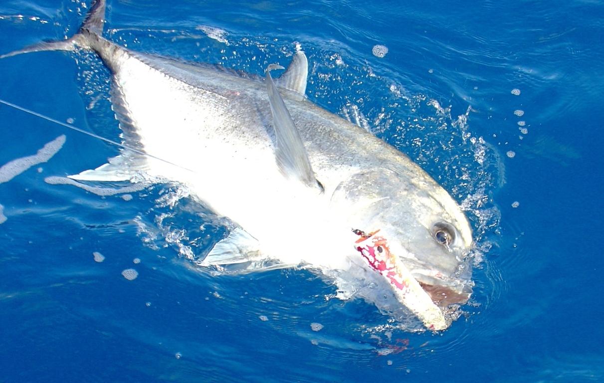 Carangue Ignobilis prise au popper - Rod Fishing Club - Ile Rodrigues - Maurice - Océan Indien