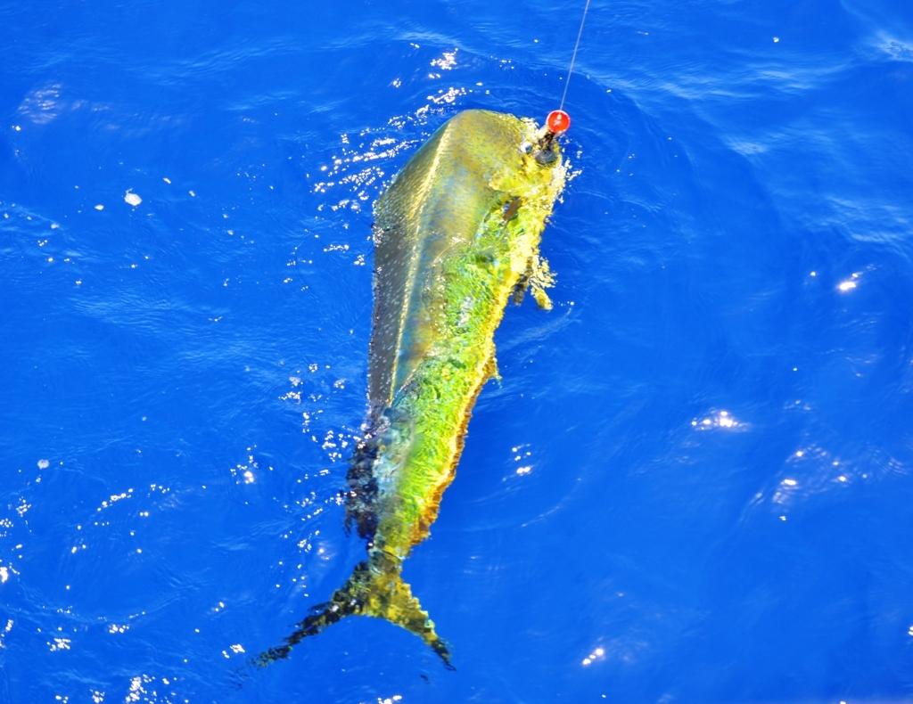 Dorado on popper Nov 2014 - Rod Fishing Club - Rodrigues Island - Mauritius - Indian Ocean