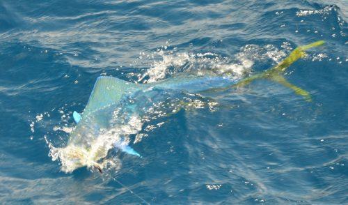Dorado on trolling - Rod Fishing Club - Rodrigues Island - Mauritius - Indian Ocean
