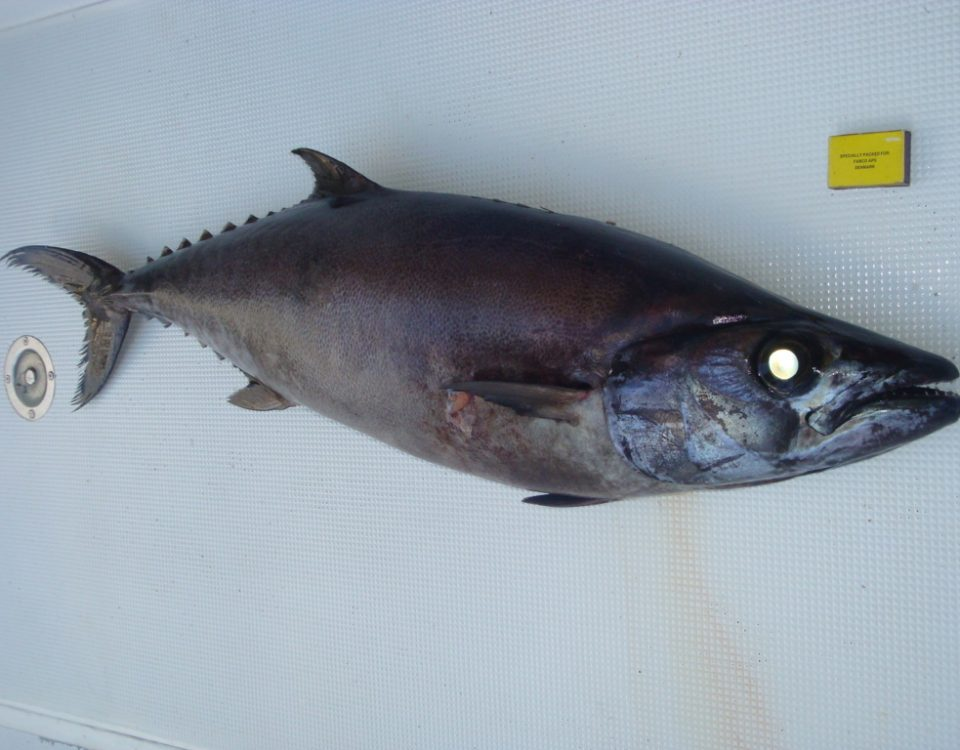 Escolar or Lepidocybium flavobrunneum - Rod Fishing Club - Rodrigues Island - Mauritius - Indian Ocean