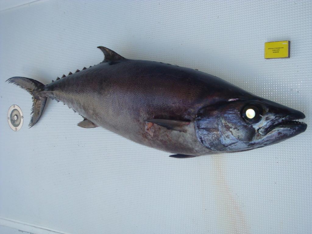 Escolar pris par 400m de fond - Rod Fishing Club - Ile Rodrigues - Maurice - Océan Indien
