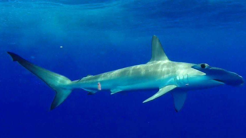 Hammerhead shark or Sphyma lewini - Rod Fishing Club - Rodrigues Island - Mauritius - Indian Ocean