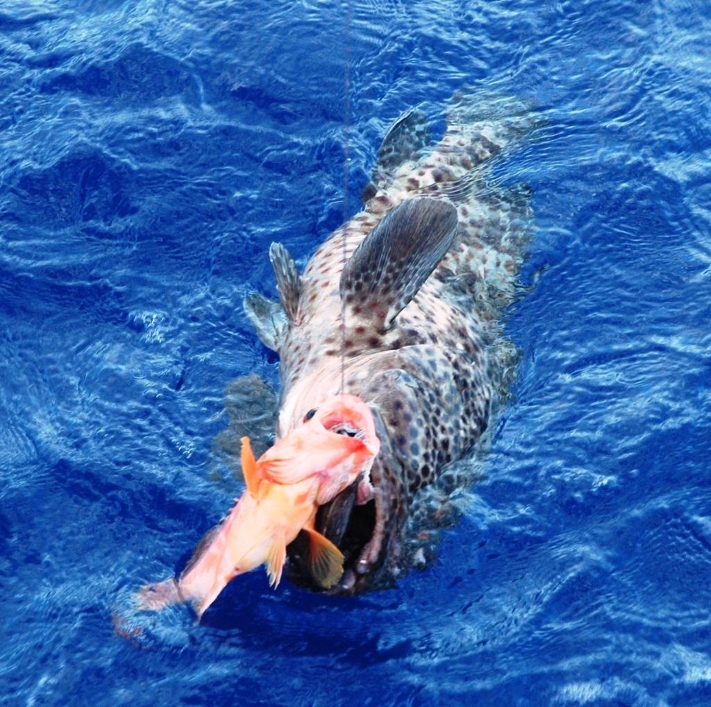 Hungry bigspot grouper - Rod Fishing Club - Rodrigues Island - Mauritius - Indian Ocean